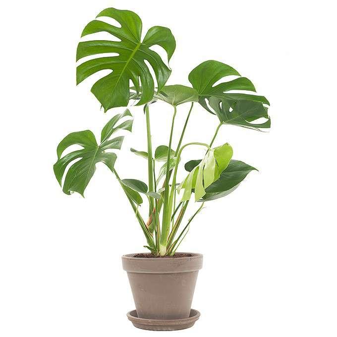 Potten Voor Planten.Philodendron Monstera In Pot Potten Planten Loods 5